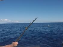 marlin breaks surface